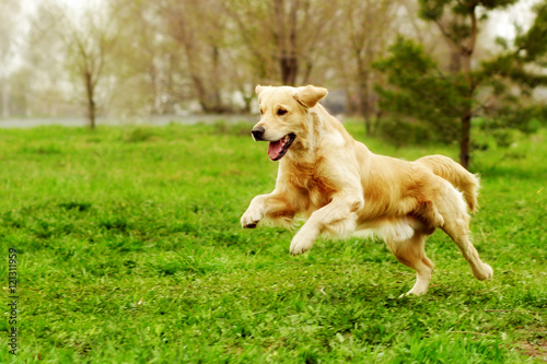 Beautiful happy dog Golden Retriever running around and playing Canvas Print