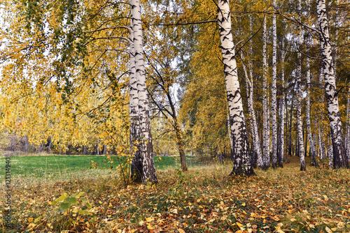 Foto op Plexiglas Berkbosje Birch grove with yellow leaves in cloudy autumn day