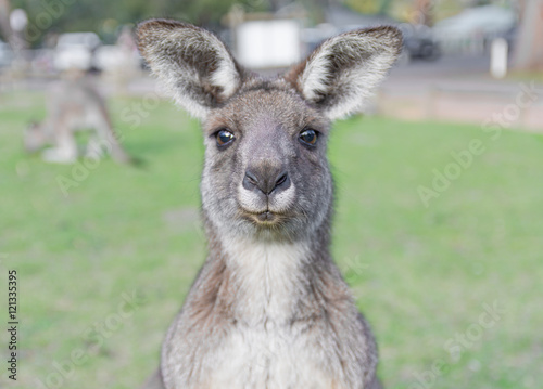 Poster Kangoeroe Young curious kangaroo with green background