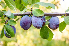 Close Up Of The Plum Tree Branch With Ripe Juicy Fruits On Sunse
