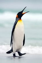 King Penguin Going From Blue W...