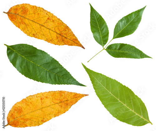 green and yellow autumn leaves of ash tree Wallpaper Mural