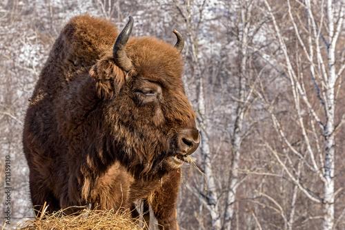 Fotografie, Obraz  bison wild mammal portrait hay