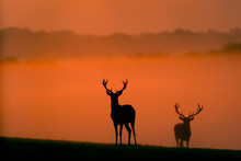 Two Red Deer Silhouettes In Th...