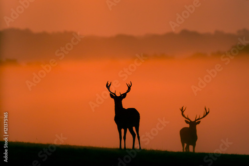 Poster Cerf two red deer silhouettes in the morning mist