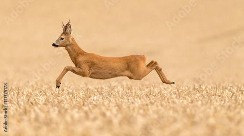 Roe buck deer leaping over a wheat field