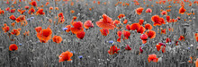 Poppy Field,panorama ,selective Color