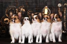 Five Puppies On A Dark Background