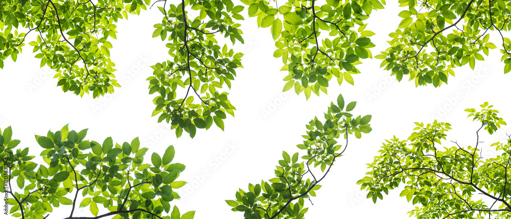 Fototapeta set of branch with leaves isolated on white background