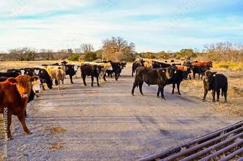 Fotografie, Obraz  Free Range Cattle on Road
