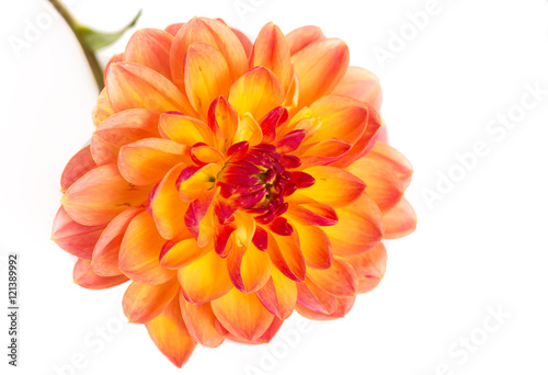 Dahlia on white background Canvas Print