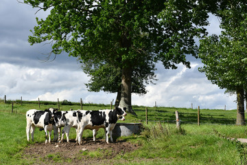 Fototapeta Wiejski Betteville, France - june 22 2016 : cows in a meadow
