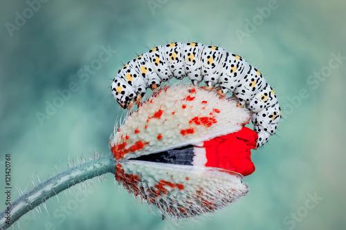 Fotoposter Macrofotografie Caterpillar