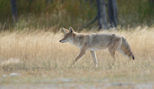 Coyote Walking In Yellowstone National Park