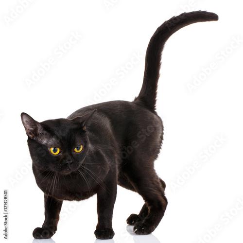 Bombay black cat on a white background Fototapet