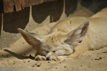 Cute Fennec Fox Sleeping