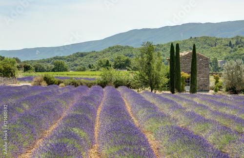 Tuinposter Lavendel Champ de lavande dans le Luberon - Provence