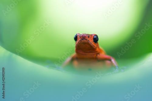 Fototapeten Natur Strawberry Poison-dart Frog (Oophaga pumilio)