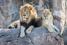 Lions On A Rock Looking Together