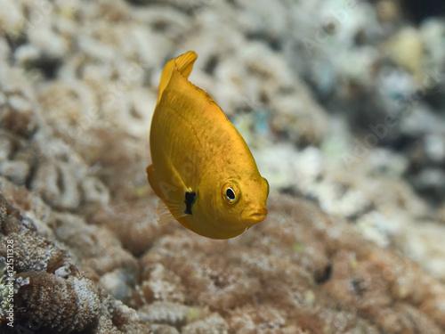 Yellow tropical fish swimming in sea water near coral reef