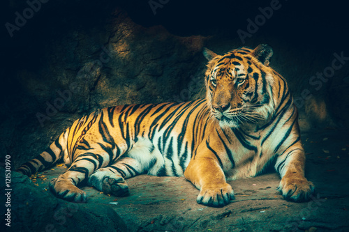 Foto auf AluDibond Tiger tiger with stone mountain background in dark grim majestic dangerous, frightening feeling color effect.