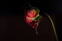 Wilted Rose. Faded Flower On Black Background