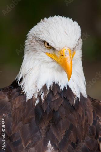 Haliaeetus leucocephalus - bald eagle head