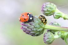Ladybug, Ladybird And Ladybeetle