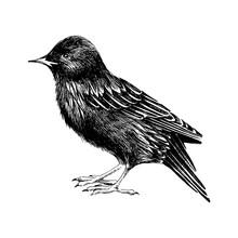 Hand Drawn Starling