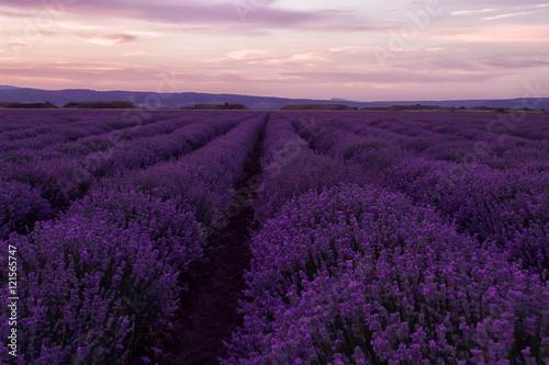 Fototapeta Stock Photo: Lavender fields. Beautiful image of lavender field. Summer sunset landscape, contrasting colors. Dark clouds, dramatic sunset obraz na płótnie