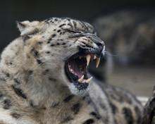 Snow Leopard 002