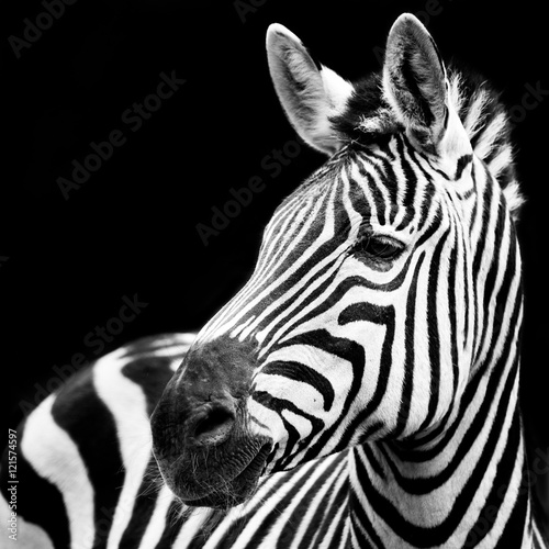 Cadres-photo bureau Zebra Zebra Closeup