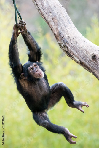 Fototapeta Swinging Chimp VI