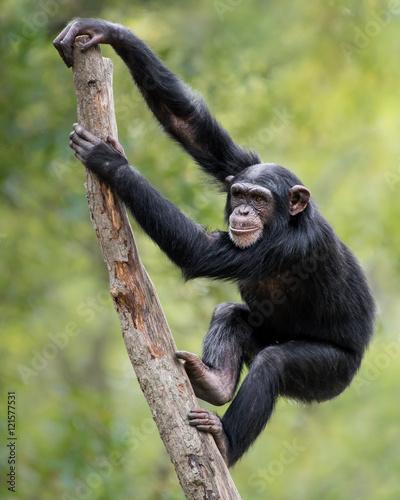 Obraz Chimpanzee XIX - fototapety do salonu
