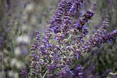 Perowskia (perovskia) łobodolistna (LACY BLUE) - nazywana też czasem rosyjską szałwią. - 121579154