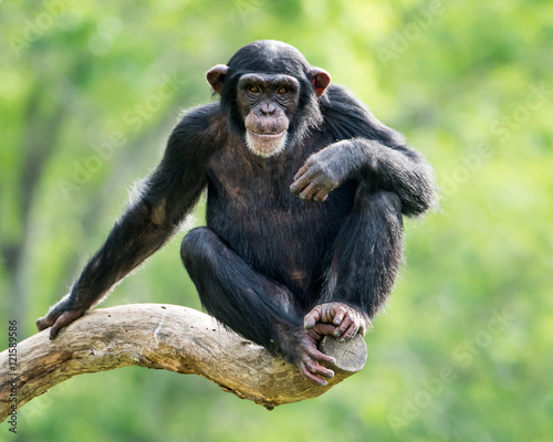 Photo sur Toile Singe Chimpanzee XXVI