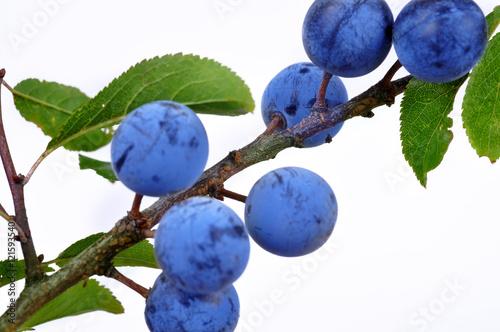 Valokuva  Blackthorn (Prunus spinosa)