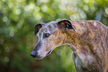 Greyhound Lurcher Dog With Dappled Bokeh In Background