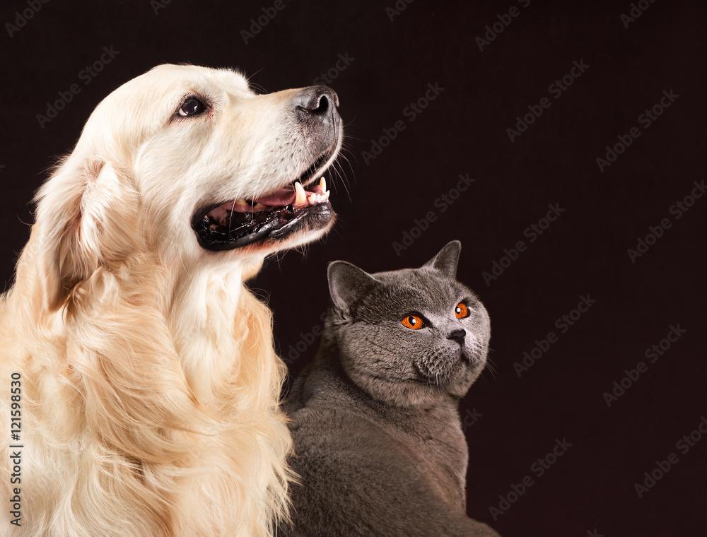 Photo & Art Print Cat and dog, British Shorthair , golden retriever
