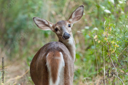 Photo Whitetailed Doe in Woods