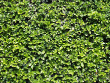 Shrubbery Texture Background, ...