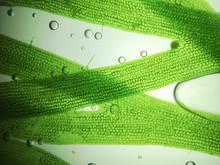 Zoom Microorganism Algae