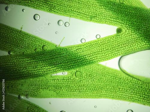 zoom microorganism algae Wallpaper Mural