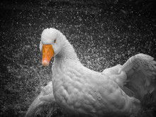 A White Goose Charging Through The Water