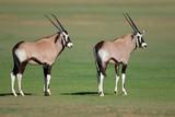 Two young gemsbok antelopes (Oryx gazella), Kalahari, South Africa