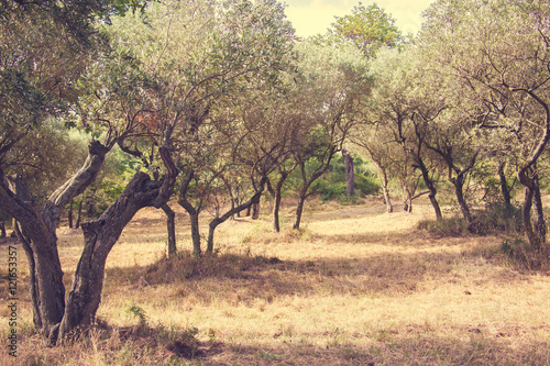 Foto op Aluminium Olijfboom Olive Tree Orchard in Provence, Southern France