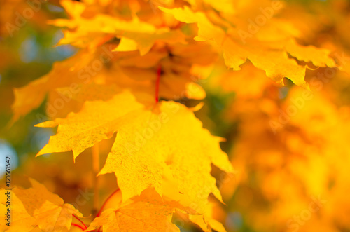 Tuinposter Meloen Yellow maple leaves.