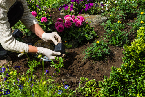 Cadres-photo bureau Jardin Woman is planting marigold (Tagetes) seedlings in the flower garden, horticulture and the flower planting concept