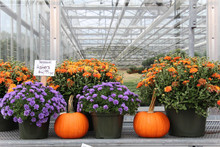 Colorful Mums And Pumpkins For...