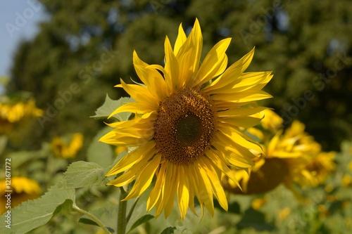In de dag Zonnebloem Sonnenblumen auf dem Feld